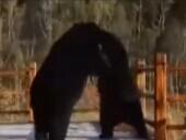 实拍野生黑熊窜入公园暴打同胞 上演功夫秀